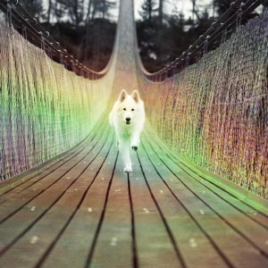 white husky running toward you on a rainbow bridge of Ascension