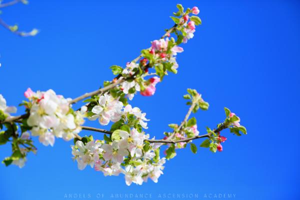 white cherry blossoms against a vivid blue sky