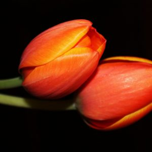 two tulips laying together in perfect symetry