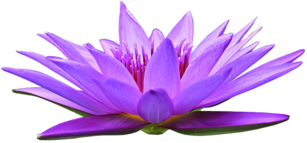 a violet lotus flower symbolizing Kwan Yin's Invitation